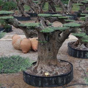 OLIVE TREE MACROBONSAI® SELECTION