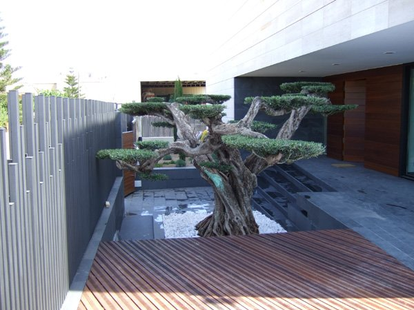 Macrobonsais tienda online viveros de olivos for Comprare bonsai online