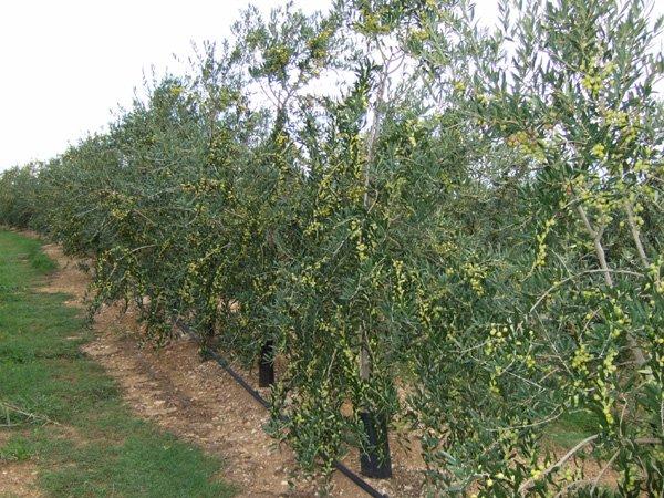 Macrobonsais tienda online viveros de olivos for Viveros de olivos